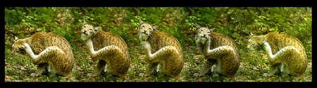 european lynx, scratching himself, serial shot Zdjęcie Seryjne