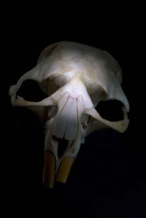 Rat skull in front of a black background photo