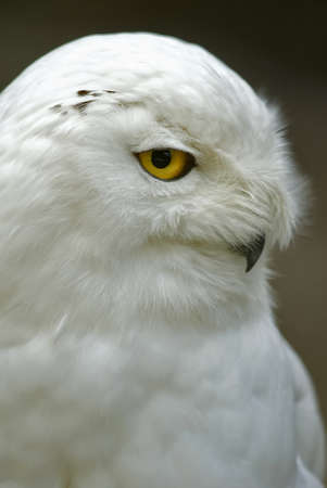 strigiformes: Snowy Owl (Bubo scandiacus, Nyctea scandiaca), sidefaced Stock Photo
