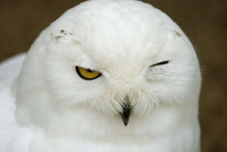 observant: Snowy Owl (Bubo scandiacus, Nyctea scandiaca), twinkling
