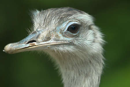 struthio camelus:   Portrait of an Ostrich (Struthio camelus)