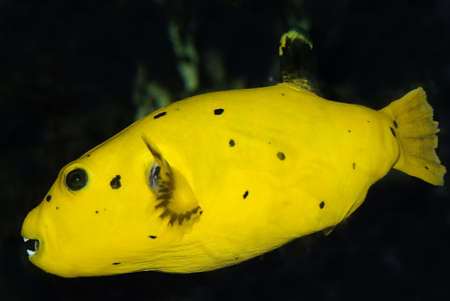 Guineafowl Puffer (Arothron meleagris), side-faced in front of a black background