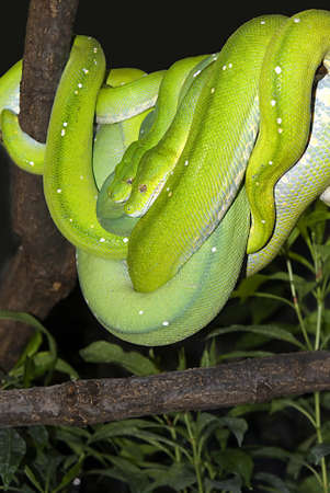 pythons:   two green tree pythons, together on a branch  Stock Photo