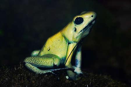 poison frog:   Ritratto di un Golden Poison Frog (Phyllobates terribilis) davanti a uno sfondo scuro Archivio Fotografico