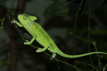 sceptic:   female Malagasy Giant Chameleon (Furcifer oustaleti) slowly climbing from twig to twig