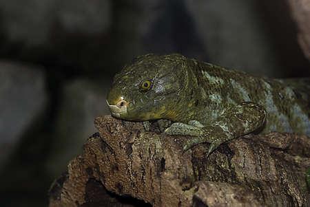 Salomon Islands Skink (corucia zebrata) Stock Photo - 7604671