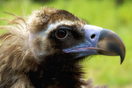 Portrait of a Cinereous Vulture (Aegypius monachus)