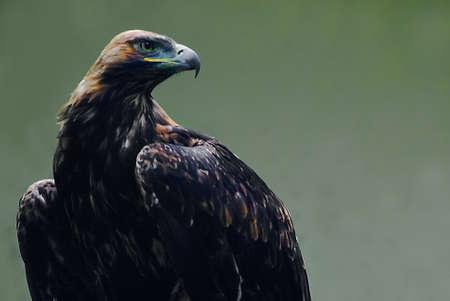 accipitridae:   eastern imperial eagle (Aquila heliaca) on a green background