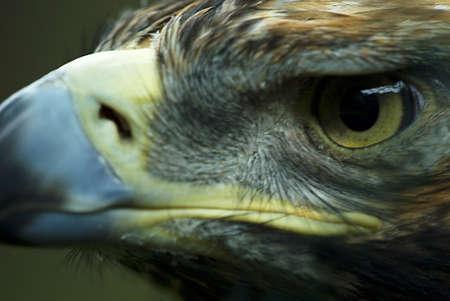 aquila:   portrait of the eastern imperial eagle (Aquila heliaca)