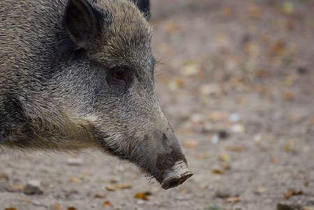 scrofa:     semiadult boar (sus scrofa), side-faced portrait