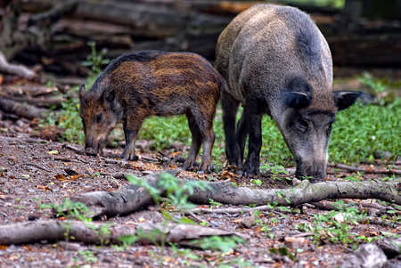 scrofa: two wild boars (sus scrofa) eating in the forest