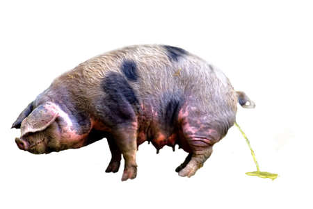 tidiness: Sus domesticus (Sus scrofa domestica) urinare, cut out