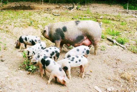 Hog (Sus scrofa domestica) with six piglets feeding photo