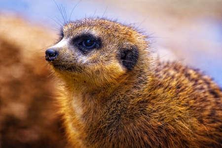 herpestidae: Portrait of a Dwarf Mongoose (Helogale parvula)