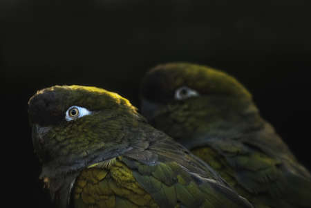 burrowing: couple of Burrowing Parrots (Cyanoliseus patagonus) Stock Photo