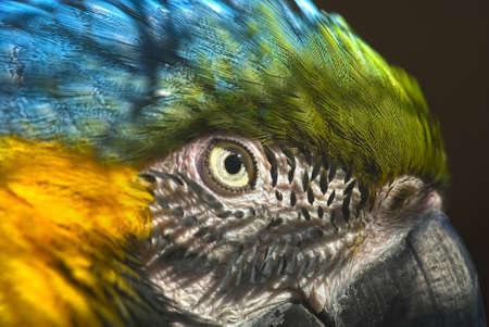 aras:   Portrait of a Blue-and-yellow Macaw (Ara ararauna)