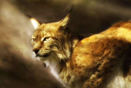 observant: european lynx  (lynx lynx) illuminated by soft sunlight