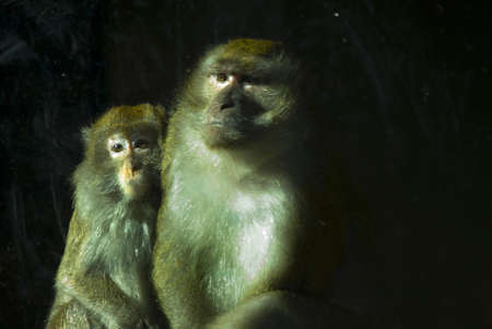 phillipine:   two Crab-eating Macaques (Macaca fascicularis) behind a glass panel