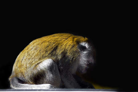 phillipine: sideview of a Crab-eating Macaque (Macaca fascicularis) Stock Photo