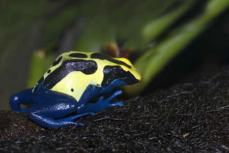 dendrobates:   dyeing dart frog (Dendrobates tinctorius)