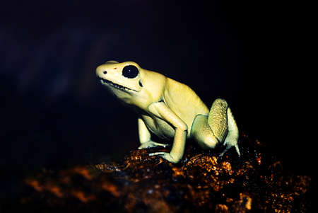 poison frog:   Portrait of a Golden Poison Frog (Phyllobates terribilis) in front of  a dark background Stock Photo