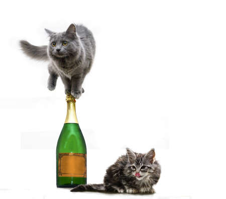 champaign: two cats want to party - cut-out with maine coon cats and a champaign bottle