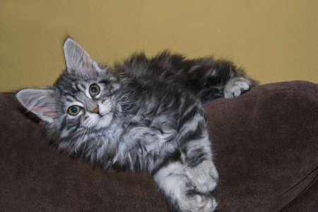 Maine Coon Kitten lying on a Sofa photo