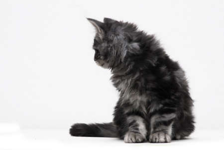 curiously:   cut-out of a Maine Coon Kitten curiously looking aside