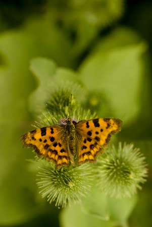 jitter: Comma (Polygonia c-album) on a thistle Stock Photo