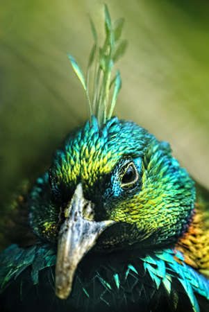 opalescent:     male Himalayan Monal (Lophophorus impejanus), also called Impeyan Pheasant or Danphe