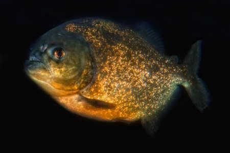 pygocentrus:     Red-bellied piranha (Pygocentrus nattereri) isolated in front of black background Stock Photo