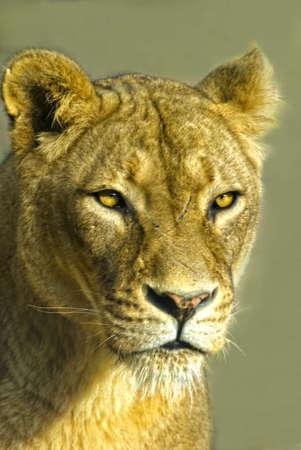 king size: female Lion (panthera leo) Stock Photo