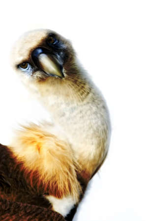 arched neck: Eurasian Griffon Vulture (Gyps fulvus)  cut out