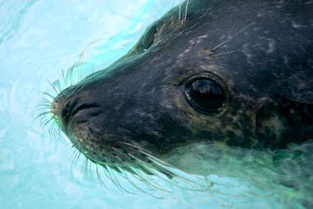 pinniped: sea lion (Otarriinae) swimming Stock Photo