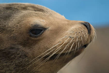 pinniped: portrait of a sea lion (Otarriinae), side-faced