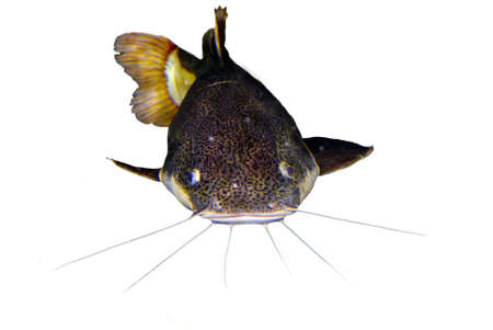 redtail:     redtail catfish (Phractocephalus hemioliopterus) frontal cut out