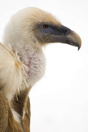 Eurasian Griffon Vulture (Gyps fulvus) cut out photo