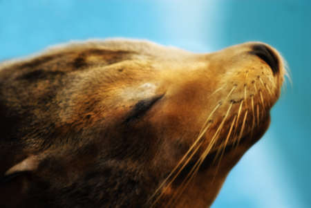pinniped: sea lion (Otarriinae) sunbathing and relaxing Stock Photo