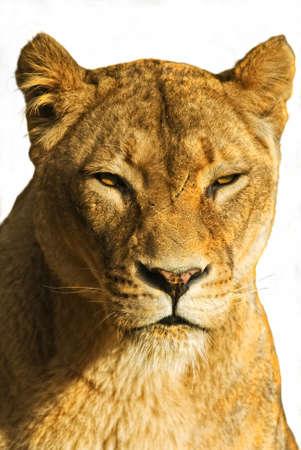 panthera leo: Le�n femenina (panthera leo) recortar  Foto de archivo