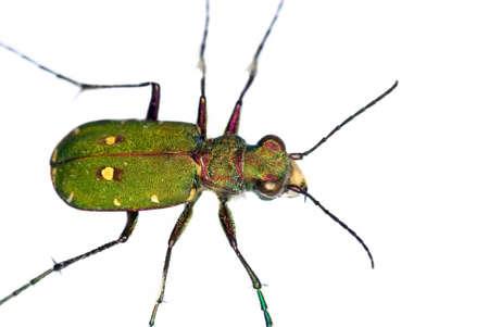 tiger beetle: tagliare fuori di un verde Tiger Beetle (Cicindela campestris)