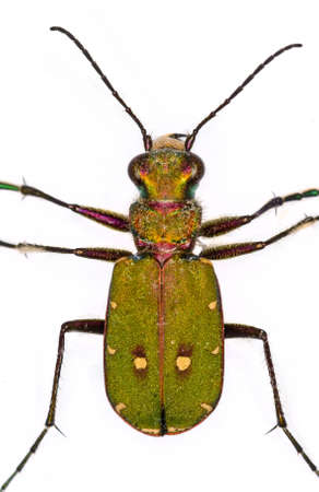 cicindela: cut out of a Green Tiger Beetle (Cicindela campestris) Stock Photo