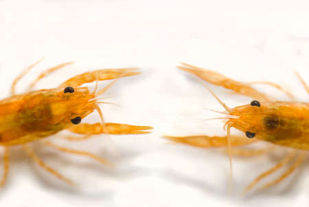 cpo: two Mexican dwarf orange crayfishes fighting (Cambarellus patzcuarensis orange, cpo)