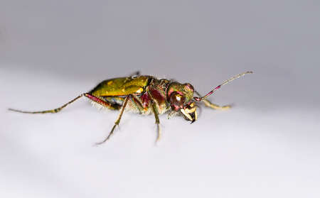 cicindela: isolated Green Tiger Beetle (Cicindela campestris)