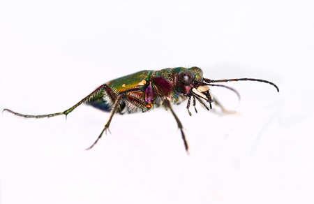 tiger beetle: cut out of a Green Tiger Beetle (Cicindela campestris) Stock Photo