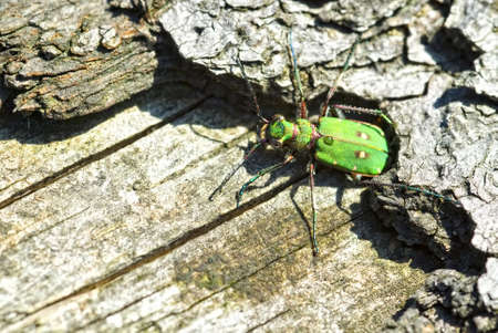 cicindela: Green Tiger Beetle (Cicindela campestris) on a tree trunk
