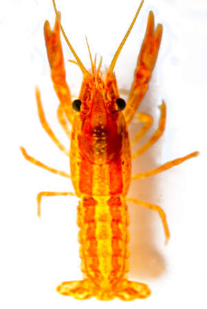Mexican dwarf orange crayfish (Cambarellus patzcuarensis orange, cpo)