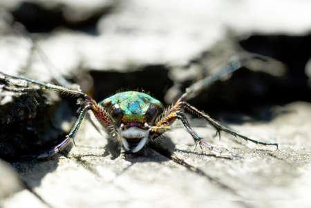 cicindela: Green Tiger Beetle (Cicindela campestris) frontal portrait Stock Photo