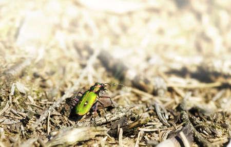 cicindela: Green Tiger Beetle (Cicindela campestris) on a forest clearence