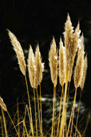 sidelight: pampas grass (Cortaderia selloana) in front of a dark background