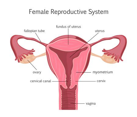 aparato reproductor: Sistema reproductivo femenino Vectores
